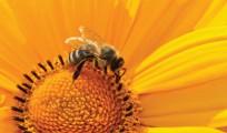 tiny-giants-bee-yellow-flower